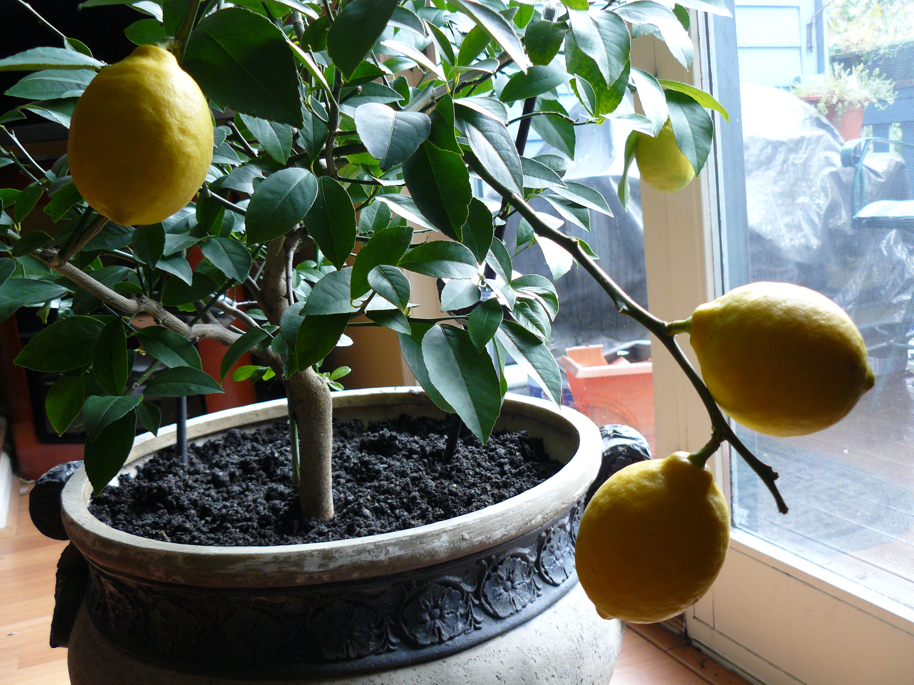 how to grow an endless supply of lemons indoors gathering of minds. Black Bedroom Furniture Sets. Home Design Ideas